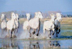 Gilbert Collard défend les éleveurs de chevaux dans france camargue-3019-300x204